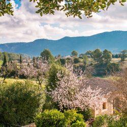 almond blossom fileds 250x250 - 9 Photos, die Sie zu einem Besuch auf Mallorca im Februar animieren werden