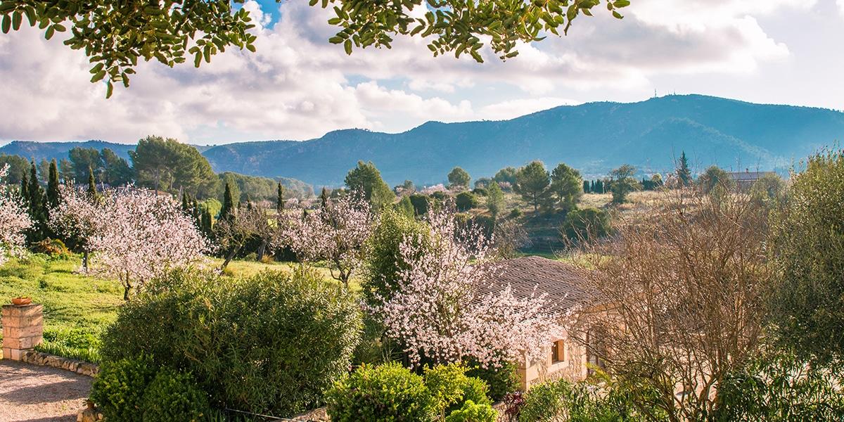 almond blossom fileds - 9 Photos, die Sie zu einem Besuch auf Mallorca im Februar animieren werden